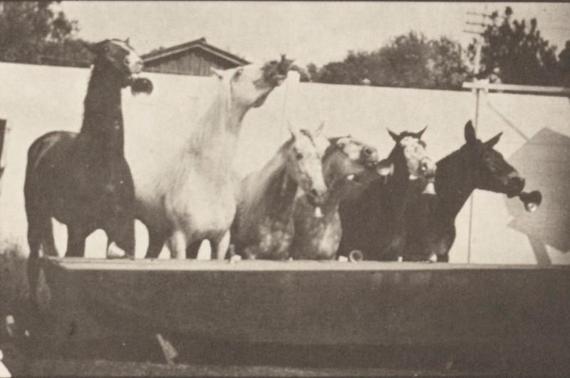 Horses listening to bell ringing