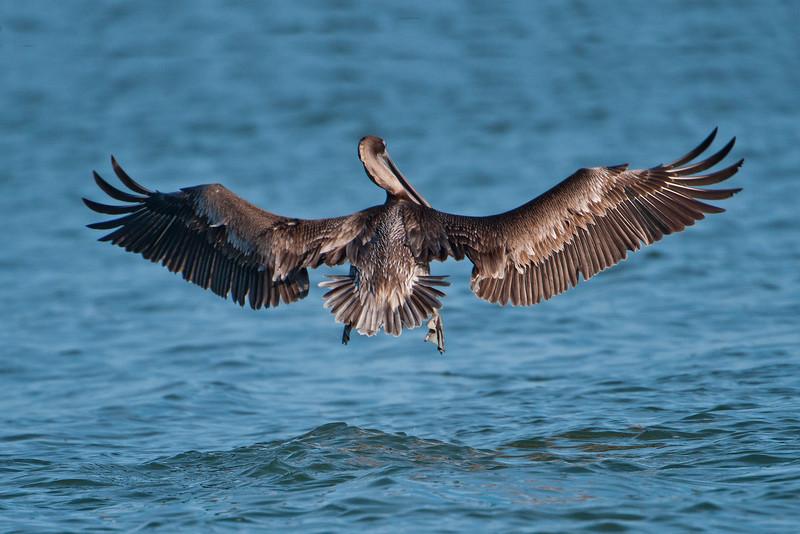 Pelican - Brown - juvenile - St. George Island, FL - 02