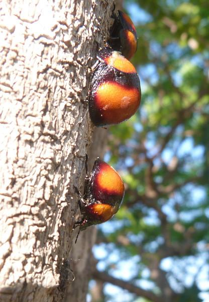 HPLadylikeBeetles166 Nov. 13, 2010  6:37 a.m.  P1000166 Unidentified beetles on treetrunk at Isalo.