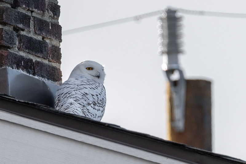 Snowy Owl_02.jpg
