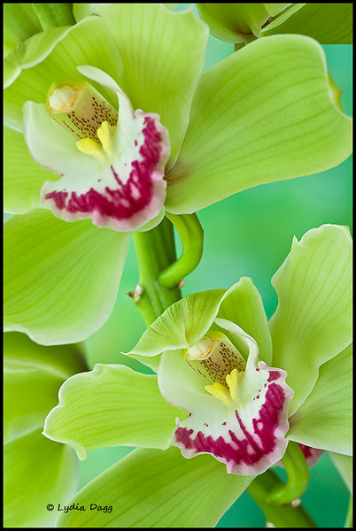 Cool Green Phalaenopsis Orchids