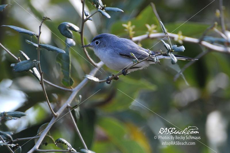 Blue Gray Gnatcatcher_412