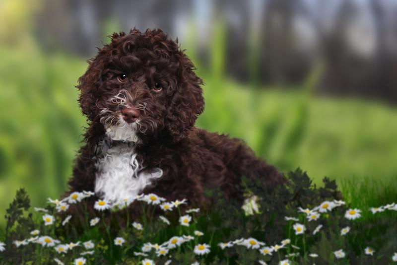 poodle-daisies.jpg