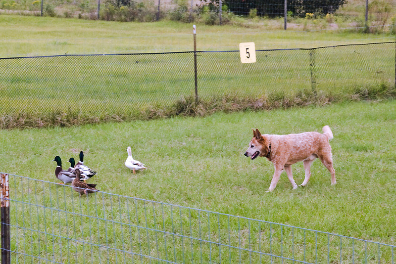 #550 (Saturday) - Ch Kylie's Solar Flare HSXsd, HSAc, CD, an Australian Cattle Dog, earned 1st place with a score of 76.5, time 5:09 on the Course A, Advanced level with ducks.  Flare is owned, bred and handled by Stacey Helsel.