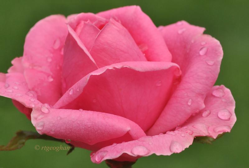 August 12_Pink Rose_6999.jpg