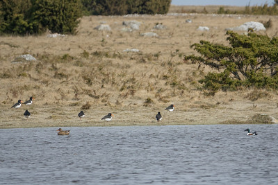 027-41 Anas clypeata, Skedand, Northern Shoveler