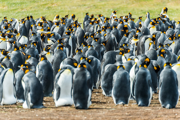 King Penguins/Volunteer Point