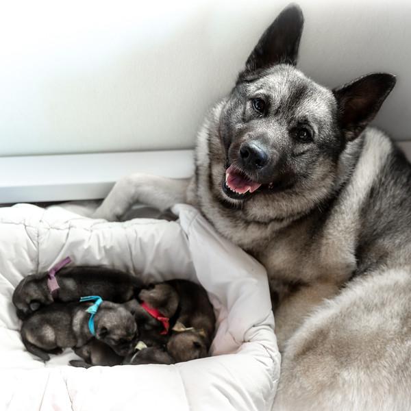 2018 Priceless x Beamer Puppies