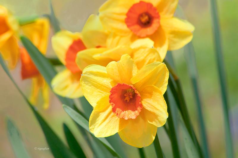 Yellow Daffodils_April 14_1427.jpg