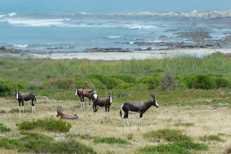 Bontebok, Cape Point NP, SA, Jan 2014-3.jpg