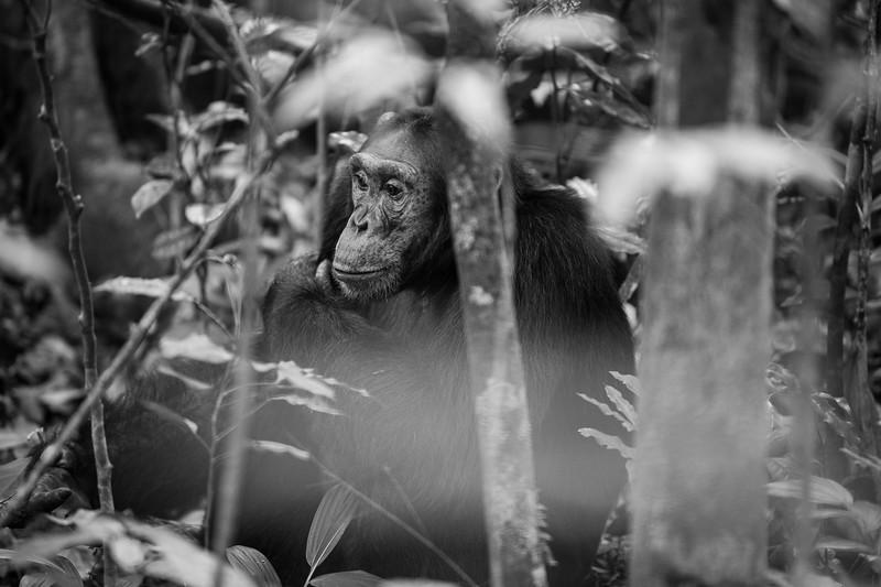 Uganda_T_Chimps-82.jpg