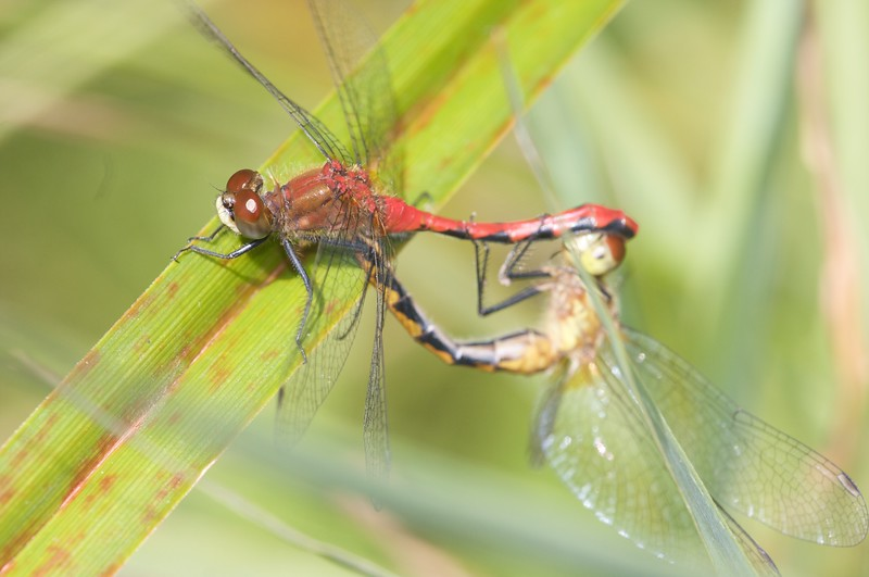 """A male and female White-faced Meadowhawk (Sympetrum obtrusum) in the mating position known as """"the wheel"""" [August 26; Bog on Jay West Road, Carlton County, Minnesota]"""