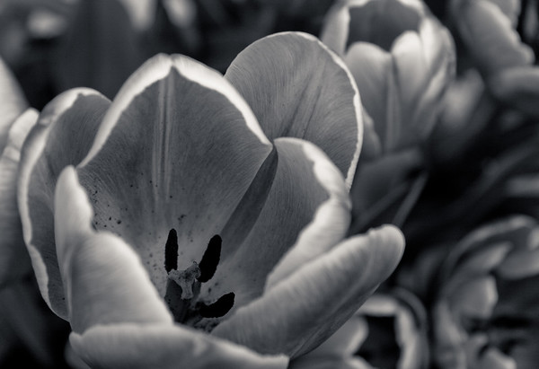 Tulip2-Ansel Light-5716