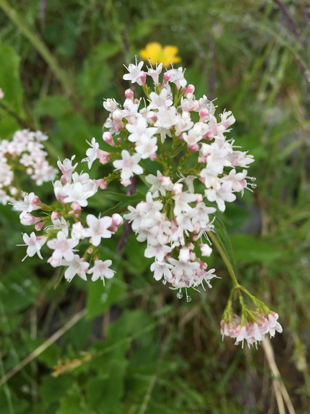 Photo of white eidelweiss (wildflower) in the Swiss Alps