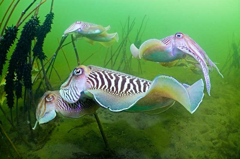 Courting common cuttlefish