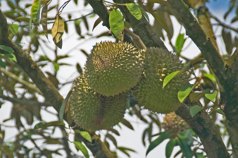 Durian hanging from a tree in Malaysia