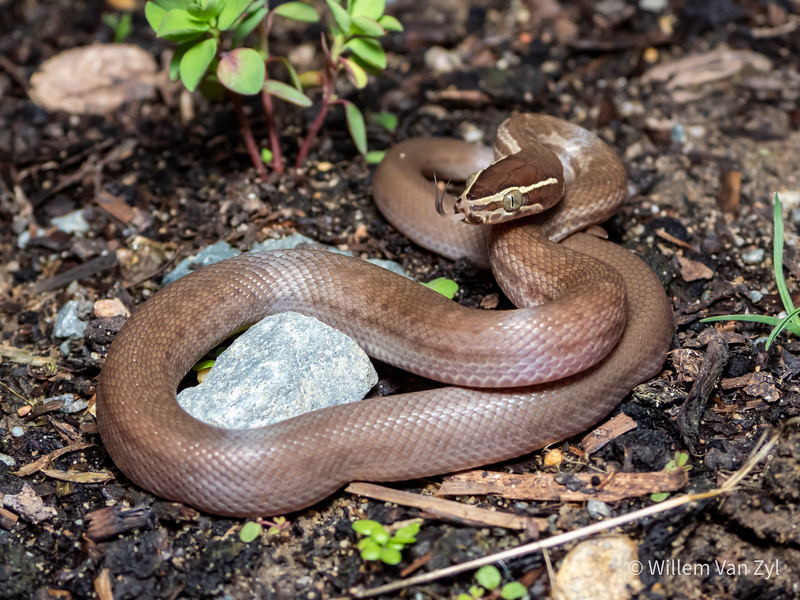20200712 Brown House Snake (Boaedon capensis) from Worcester, Western Cape