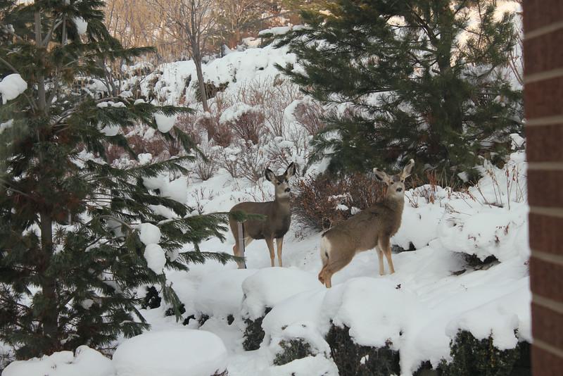 Deer_outside_May_01_06_2013_4546.JPG