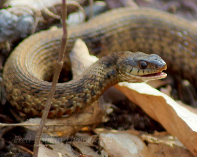 Clayton garter snake.jpg