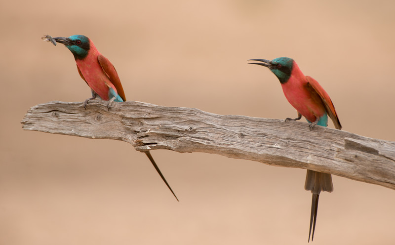 Northern Carmine Bee-eater, Merops nubicus. Selous Game Reserve, Tanzania.