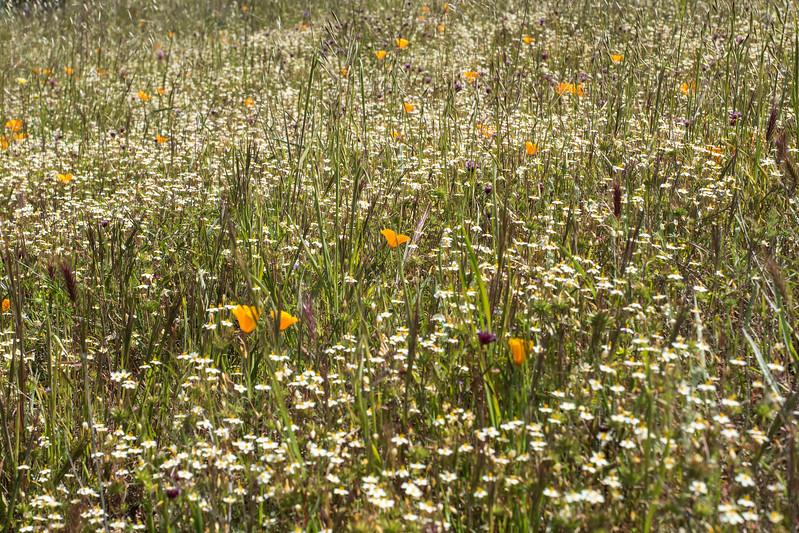 Edgewood_Park_wildflowers-25.jpg