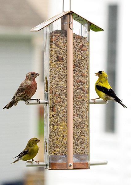 assorted-finches_232803576_o.jpg