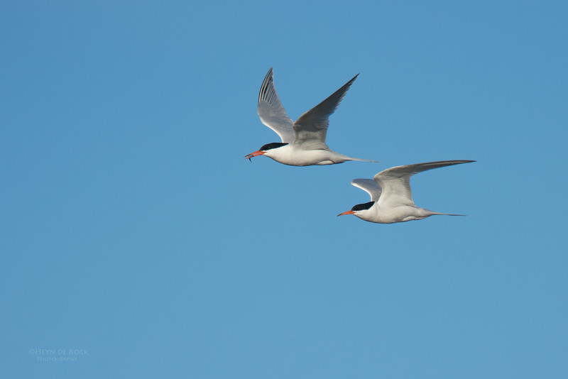 Roseate Tern, Lady Elliot Island, QLD, Dec 2015-7.jpg