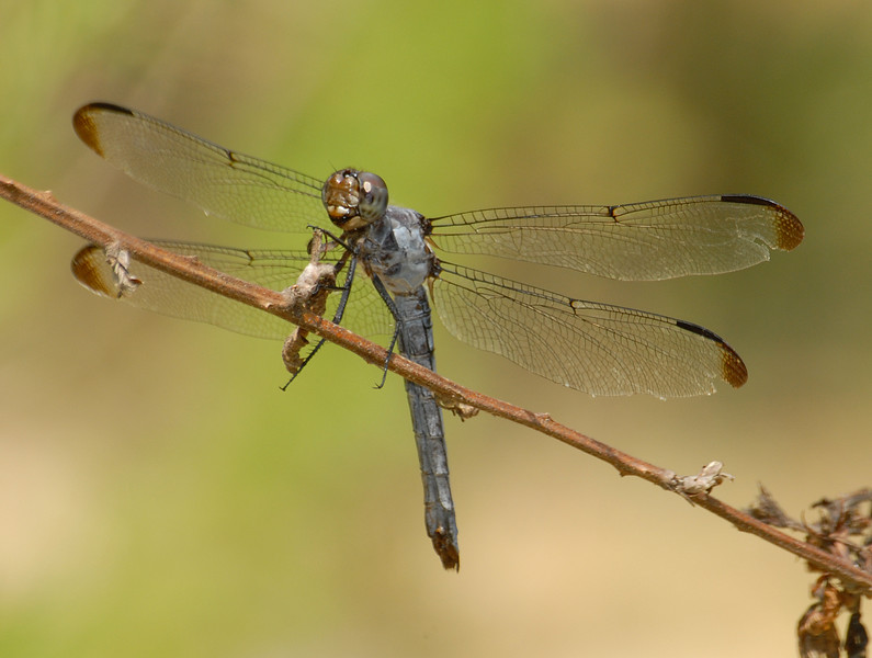Libellula incesta (Slaty Skimmer), GA - female
