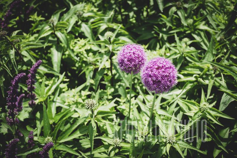 purpleballflowers.jpg