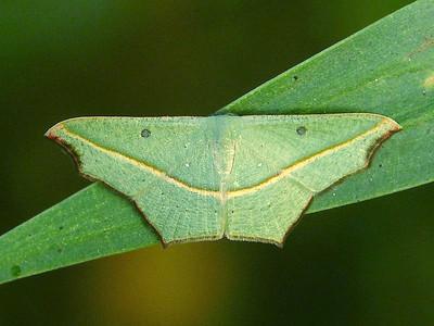subfamily Sterrhinae