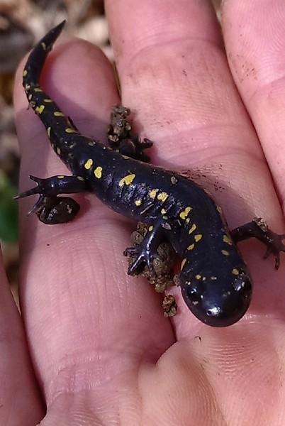 Spotted Salamander Metamorph