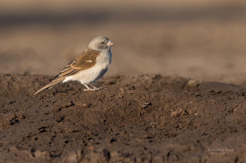 Southern Grey-headed Sparrow, Mashatu GR, Botswana, May 2017-4.jpg
