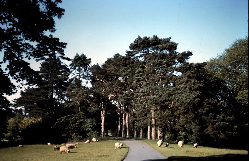 1959-5-24 (17) Sheep in Sandringham grounds & road leading to Castle, Norfalk.JPG