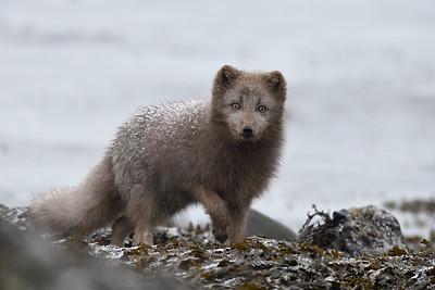 Icelandic Arctic Fox