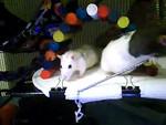 Kate's Pet Rats