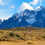 Guanaco in Parque Nacional Torres del Paine, Chile