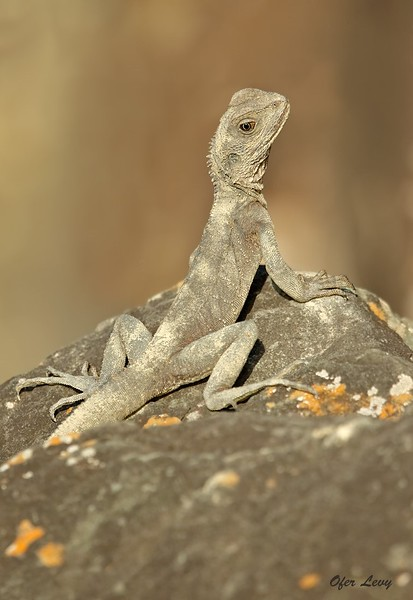 Eastern Water Dragon juv MASTER.jpg