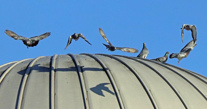 7 pigeons