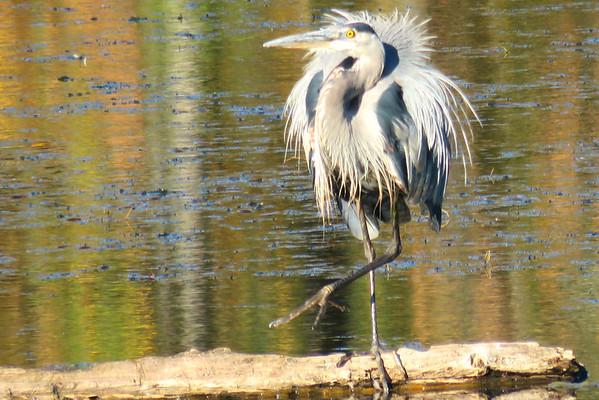 Great Blue Herons, Great Horned Owls, Long Eared Owl