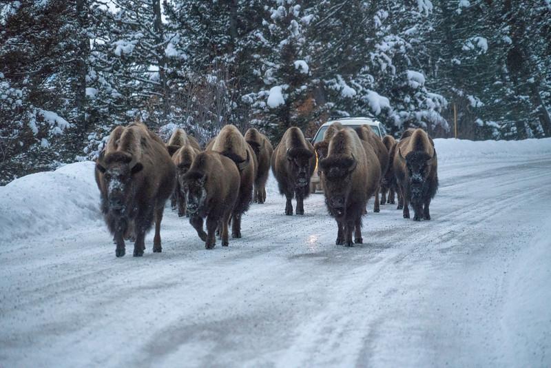 _AR70728 Buffalo on the road.jpg