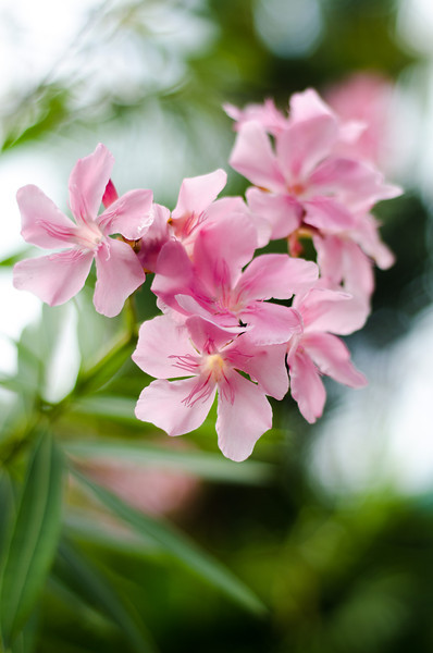 Pink Oleander in the Morning