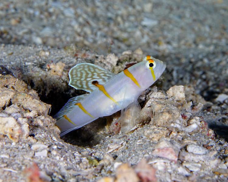 Randalls Shrimpgoby