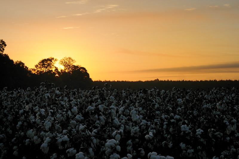 The cotton fields are almost ready for harvest.