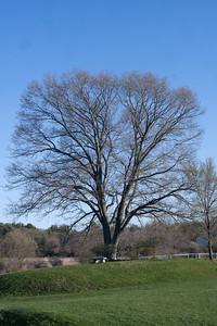 trees at pingree