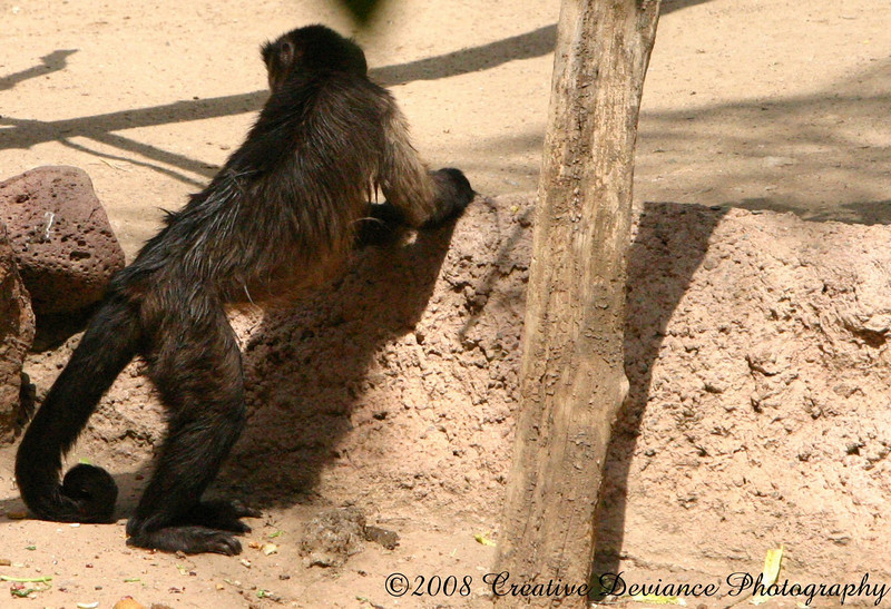 Brown Capuchin2.jpg