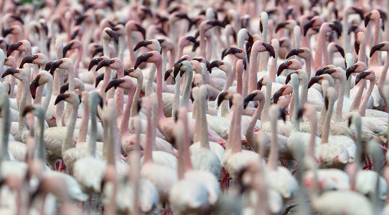 Lesser-Flamingos-Lake-Bogoria-1.jpg