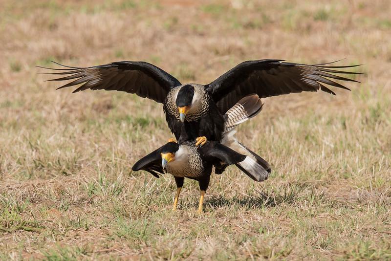 Crested Caracara - mating - Laguna Seca Ranch-Edinburg, TX