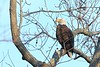 Bald Eagle (Haliaeetus leucocephalus) perched in the cold morning in Newport News, VA. © 2007 Kenneth R. Sheide