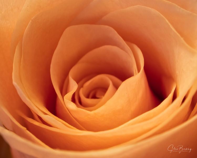Peach Rose I