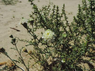 Desert Pincushion (Chaenactis stevioides)